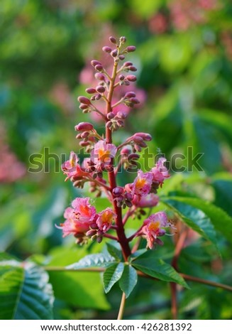 blooming chestnut flower - ( pink chestnuts bloom) - stock photo