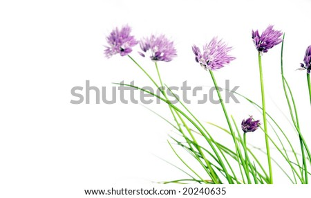 blooming chives against white background
