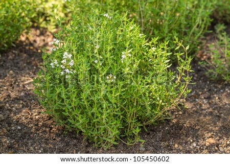 Blooming Common Thyme (Thymus vulgaris) - stock photo