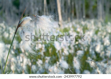 Blooming cotton grass in a swamp - stock photo