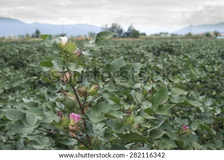 Blooming cotton. Pink and white blooms - stock photo