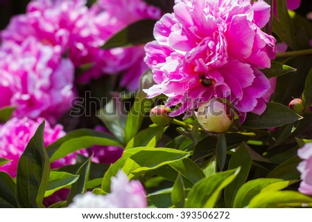 Blooming crimson fragrant  peony with a bumblebee inside. Peony bud. Summer flowers. Live nature. The warm bright summer. Flora and fauna - stock photo