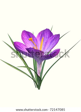 blooming crocus isolated - stock photo