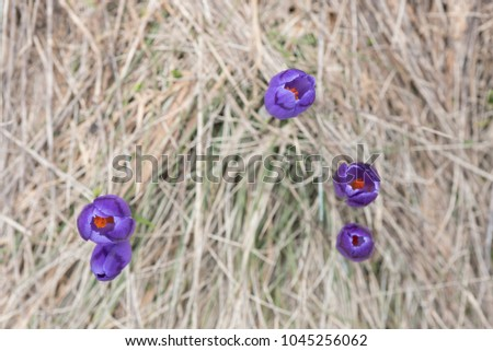 Blooming crocuses in the grass. Violet first spring flowers. Natural background with place for inserting text