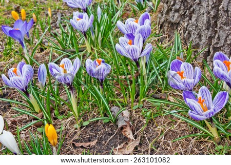 Blooming crocuses near the trunk of old tree, shallow depth of field     - stock photo