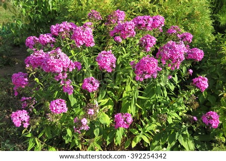 Blooming cultivar garden phlox (Phlox paniculata) in the summer garden