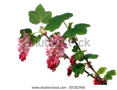 blooming currant isolated on white - stock photo