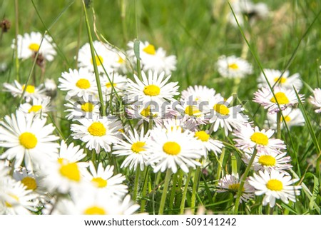 Blooming daisies in a meadow in the afternoon - Garden of flowers - Blossom