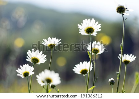 blooming daisies on a meadow under a mountain - stock photo