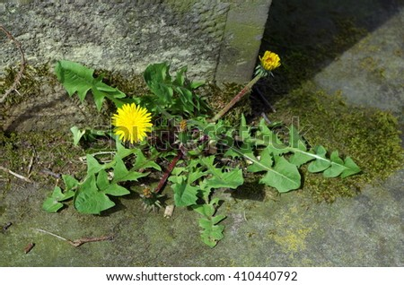 Blooming dandelion on concrete - stock photo