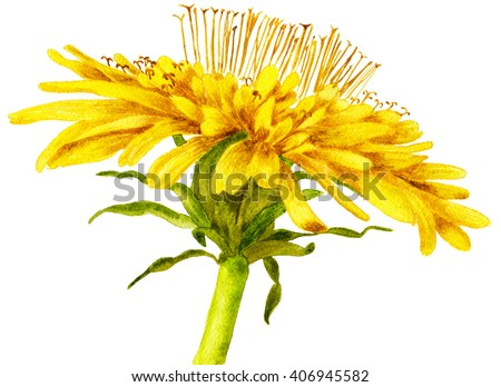 Blooming dandelion. Watercolor botanical illustration, isolated on white background - stock photo