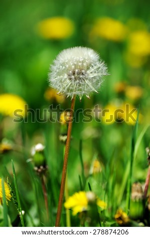 Blooming dandelions on background of green grass in early spring  - stock photo