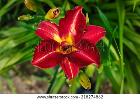 Blooming daylilies in the garden - stock photo