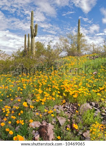 Blooming Desert with Saguaros in Picacho Peak State Park. - stock photo