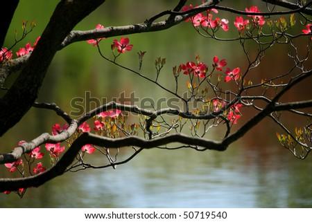 Blooming Dogwood Tree - stock photo