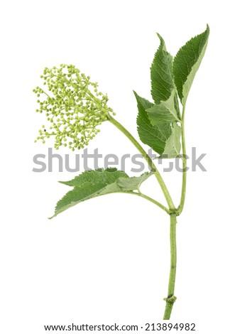 Blooming European elder, Sambucus nigra isolated on white background - stock photo