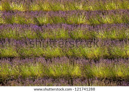 Blooming field of Lavender (Lavandula angustifolia), Vaucluse, Provence-Alpes-Cote d'Azur, Southern France, France, Europe, PublicGround
