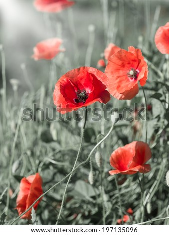 blooming field of red poppies in the field - stock photo