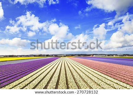 blooming fields of flowers in Holland - stock photo