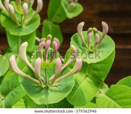 Blooming flower of  honeysuckle perfoliate (Lonicera caprifolium) - stock photo