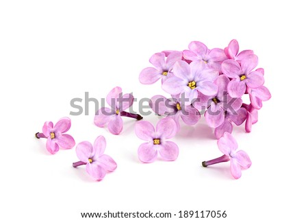 Blooming flower of purple lilac on white background. - stock photo