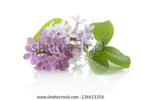 Blooming flower of purple lilac (Syringa vulgaris) - stock photo