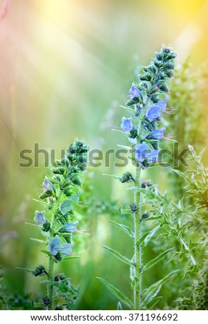 Blooming - flowering wild flower in meadow (blue flowers) - stock photo