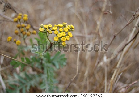 Blooming flowers of tansy close up on the background of the rest of the plant. - stock photo