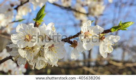 Blooming flowers on a branch of cherry in spring garden - stock photo