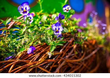 blooming flowers pansies - stock photo