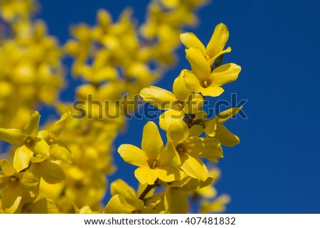 blooming forsythia branches and bright blue sky. Selective focus. - stock photo