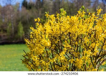 Blooming Forsythia bush - stock photo