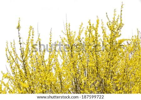 Blooming forsythia bush isolated on white background - stock photo