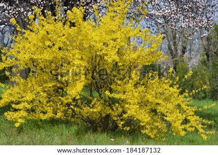 Blooming forsythia in early spring - stock photo