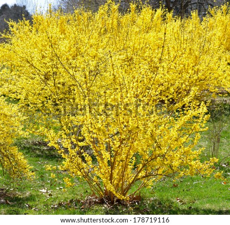 Blooming forsythia in early spring, yellow flowers background - stock photo