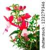 blooming fuchsia (fuschia hybrida), isolated on a white background - stock photo