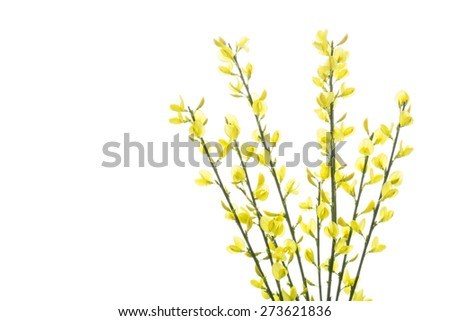 Blooming Genista flowers, isolated on white - stock photo