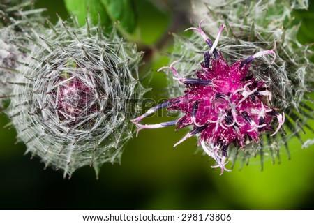 blooming greater burdock, arctium lappa, macro, selective focus, shallow DOF - stock photo