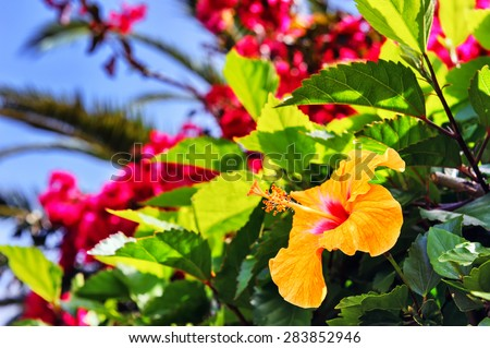 Blooming hibiscus flowers in spring time. Madeira island  - stock photo