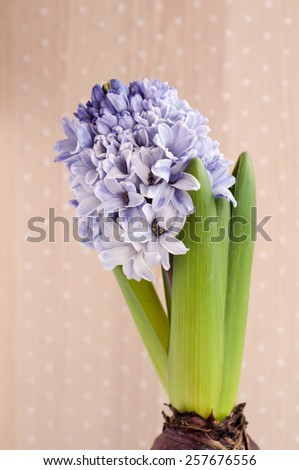 Blooming hyacinth flower - stock photo