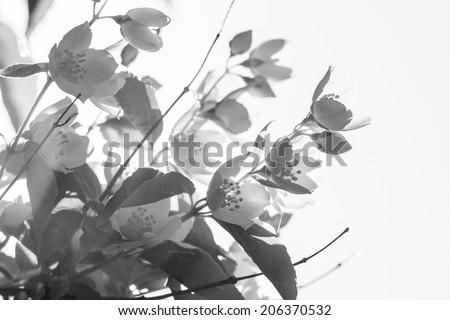 Blooming jasmine. Black and white - stock photo