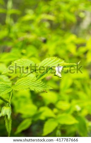 Blooming jasmine bush in the spring time garden - stock photo