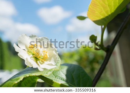 Blooming kiwi fruit plant - stock photo