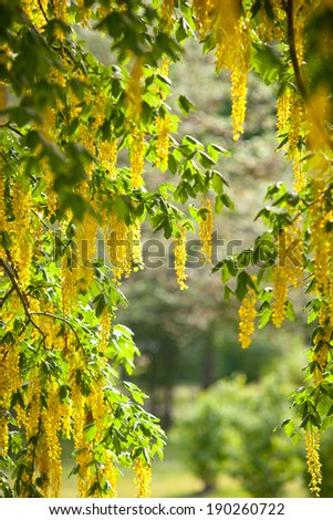 Blooming Laburnum during summer in sweden.JH - stock photo
