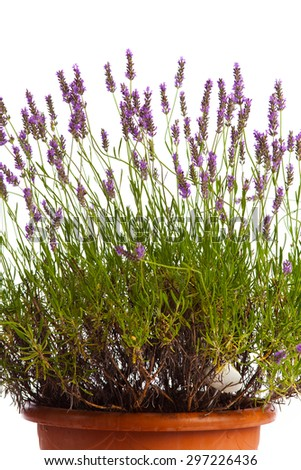 Blooming lavender bush in front of white background - stock photo