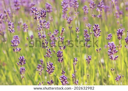 blooming lavender field - stock photo