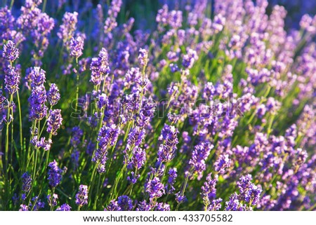 Blooming lavender in backlight - stock photo
