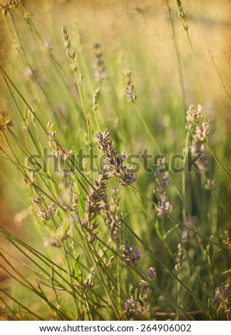 Blooming lavender on a field.    Photo in retro style.  Added paper texture. Very shallow depth of field. selective focus - stock photo