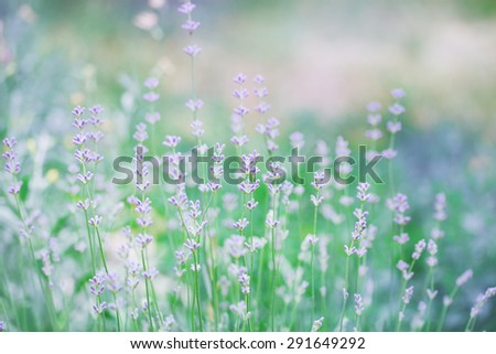 Blooming lavender on a green background. tinted - stock photo