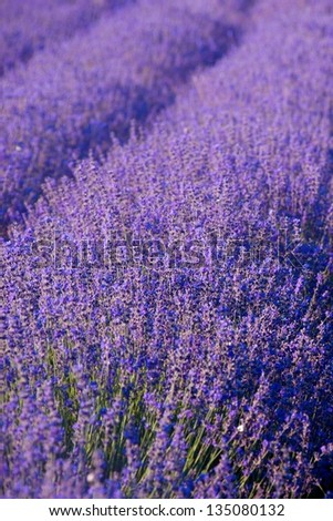 Blooming lavenders field in Provence - stock photo